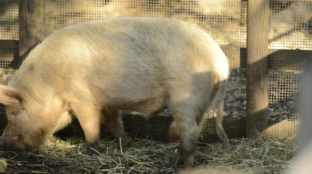 prase : Miniature pigs on the farm during the day time