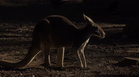 mammalia : Cute Australian Kangaroo outdoors amongst nature during the day.