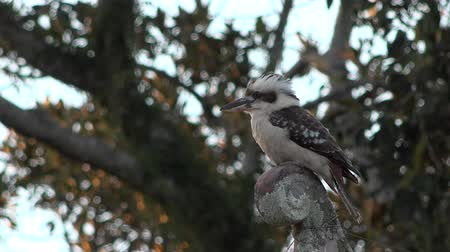 птицы : Australian kookaburra by itself resting outdoors during the day. Стоковые видеозаписи