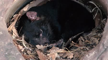 feroz : Australian Tasmanian Devil sleeping outside during the day.