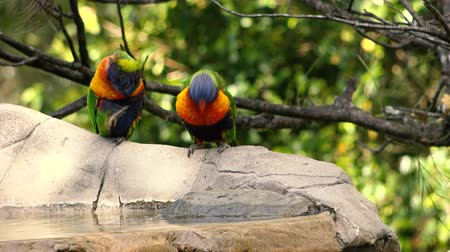papugi : Rainbow lorikeets having a bath out in nature during the day.