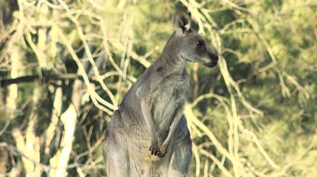 mammalia : Australian Eastern Grey Kangaroo outdoors amongst nature during the day. Stock Footage