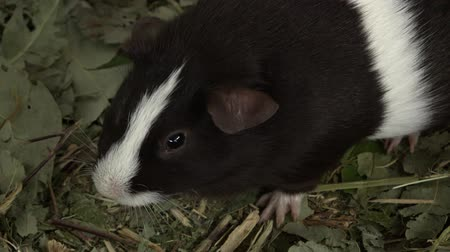 porquinho : Small guinea pig looking around for food. Stock Footage