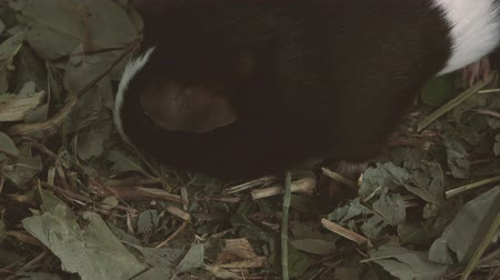 świnka morska : Small guinea pig looking around for food. Wideo