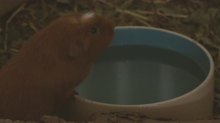 Small guinea pig drinking water from a bowl. Стоковые видеозаписи