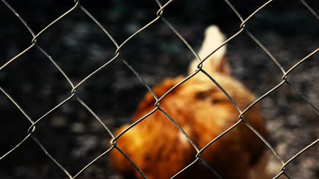 Concept: Australian One Australian chicken trapped behind a rusty cage. Стоковые видеозаписи