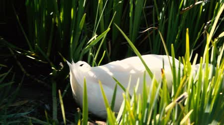 peking : Pekin duck out in nature during the day time.