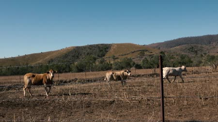 Australian cows on a farm in Queensland during the day.