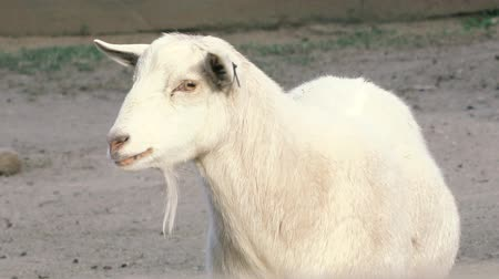 grazing : Goat outside in nature during the day time Stock Footage