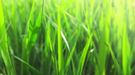 zelený : Morning grass, slow motion