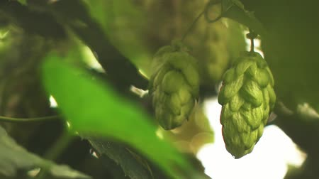green leaves and cones hops Stok Video