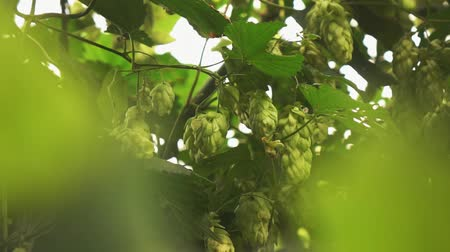 green branches and cones of hops sway from the wind