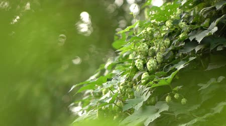 hops in the garden,