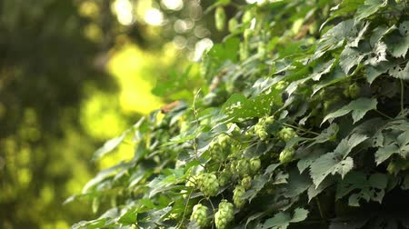bush of green hops Slow motion.