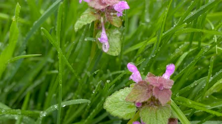 ısırgan otu : violet nettle flowers after rain