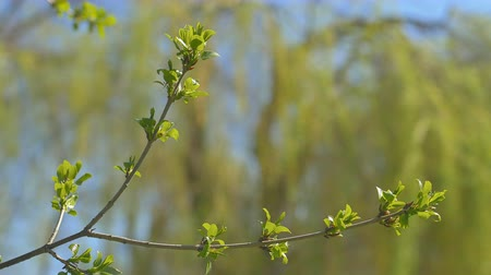 plash : Young fresh spring leaves trembling on the wind. Thin tree branch with fresh green leaves on nature background. Sunny weather. Stock Footage
