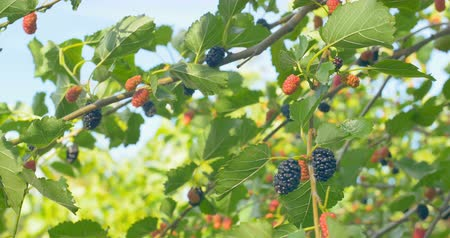 morinda : Fresh mulberry fruits on branches of red mulberry tree.