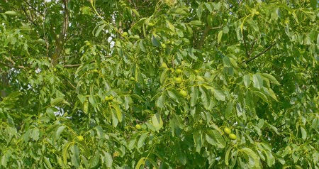 wallnut : Some green walnuts in tree. Walnuts are rounded, single-seeded stone fruits of the walnut tree. Stock Footage