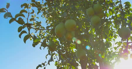 pereira : Pears hanging on a branch in the sunlight