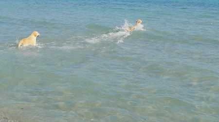 A dogs runs into a sea water on a beach. Labrador retriever go follow little ball. Having fun on summer weekend. Slow motion. Wideo