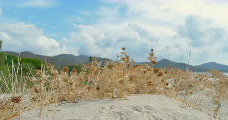 Yellow dry herbs, with green mountains and white clouds profile in the background. Windy little bit Wideo