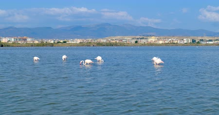 flamingi : Pink flamingos eating, in front of the city of Cagliari, Sardinia, Italy.