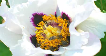 beporzás : Bee collects pollen on Paeonia suffruticosa flower. Close up Stock mozgókép