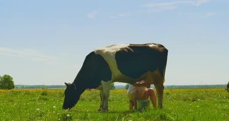 udder : Milker milk cow on a green field Stock Footage
