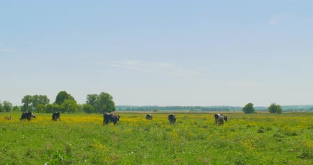 копытное : Cows grazing on a green meadow