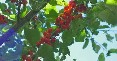 Вишневое дерево : Cherry tree branches in the wind. Many Red ripe berries.