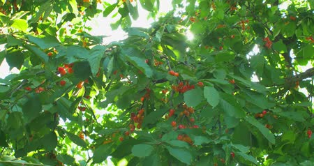antioxidant : Cherry tree branches in the wind. Many Red ripe berries.