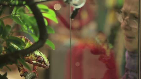terrarium : girl in the zoo looks at the chameleon Stock Footage