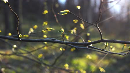 dissolução : Pan-shot branches with buds and sunlight in the background.