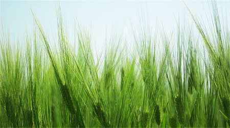 pszenica : Swinging Blades of Green Barley Illuminated by the Morning Sun. In the Background is the Clear Skies.