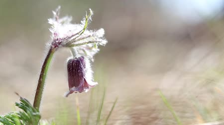 pasque : Beautiful spring violet flowers background. Eastern pasqueflower, prairie crocus, cutleaf anemone with water drops  in light breeze. Shallow depth of field. Slow motion