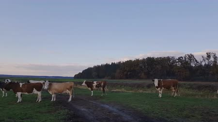 Cows grazing on autumn pasture at sunset. Toned. Agricultural concept