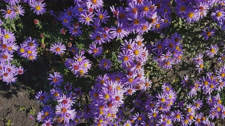 michaelmas daisy : Colorful autumn purple aster background. Dynamic scene. Light breeze. Sunny fall day.