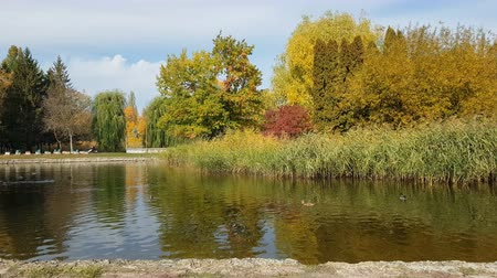 Autumn city park. Park in the fall. Ducks swim in the pond. Bright autumn trees in the park. Sunny day. Light breeze.