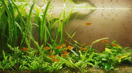 alga : Lot of different fishes swim in aquarium with pebbles, plants and illumination. Many female red swordtail fish.