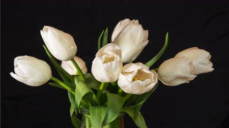 Time-lapse of opening white tulips bouquet with drops. 4k 50 fps time lapse. Studio shot over black.