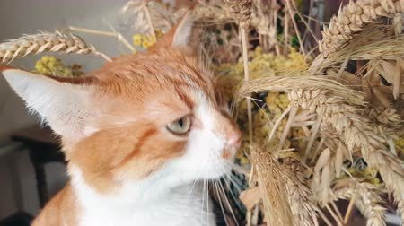 Red-white cat eats the dry rye ears. Cute funny red-white cat, close up. Vídeos