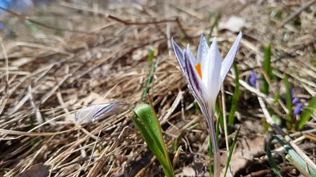reticulatus : Wild crocus with water drops surrounded by spring pearls on the forest on a lawn on a hillside in the spring sunny day. Light breeze, dynamic scene. Stock Footage