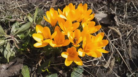 šafrán : Bee collects nectar and flies. Yellow blooming crocuses in light breeze. Sunny day. Light breeze, dynamic scene.