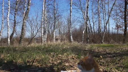Cute red-white cat in birch grove. Spring sunny day. Light breeze, dynamic scene. Vídeos
