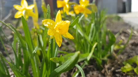 Yellow blooming daffodil with water drops in light breeze. Sunny day. It rains in sunny day. Low angle. Sunshine. Sunrise. Shallow depth of field.
