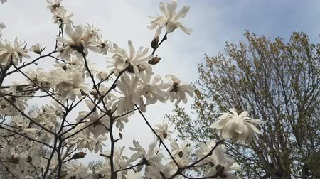 magnólia növény : White magnolia blossom in the city park. Light breeze, sunny day, dynamic scene, 4k video.