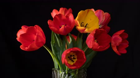 Red and yellow tulips close up on black surface. 4k UltraHD video time-lapse footage