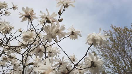White magnolia blossom in the city park. Light breeze, sunny day, dynamic scene, 4k video.