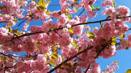 damascos : Close up of Pink Blossom Cherry Tree Branch, Sakura, during Spring Season on Pink Background. Beautiful Nature Scene with Blooming Tree and Sun Flare. Light breeze, sunny day, dynamic scene, 4k video. Stock Footage