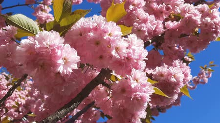 хрупкость : Close up of Pink Blossom Cherry Tree Branch, Sakura, during Spring Season on Pink Background. Beautiful Nature Scene with Blooming Tree and Sun Flare. Light breeze, sunny day, dynamic scene, 4k video. Стоковые видеозаписи